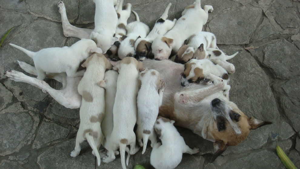 Mother dog overwhelmed by pack of hungry pups