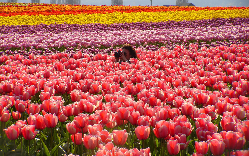 One in a Million, photographer in the pink glory tulips