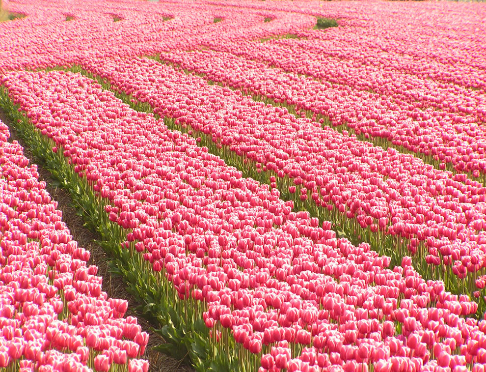 Overdose on pink tulips in South Holland