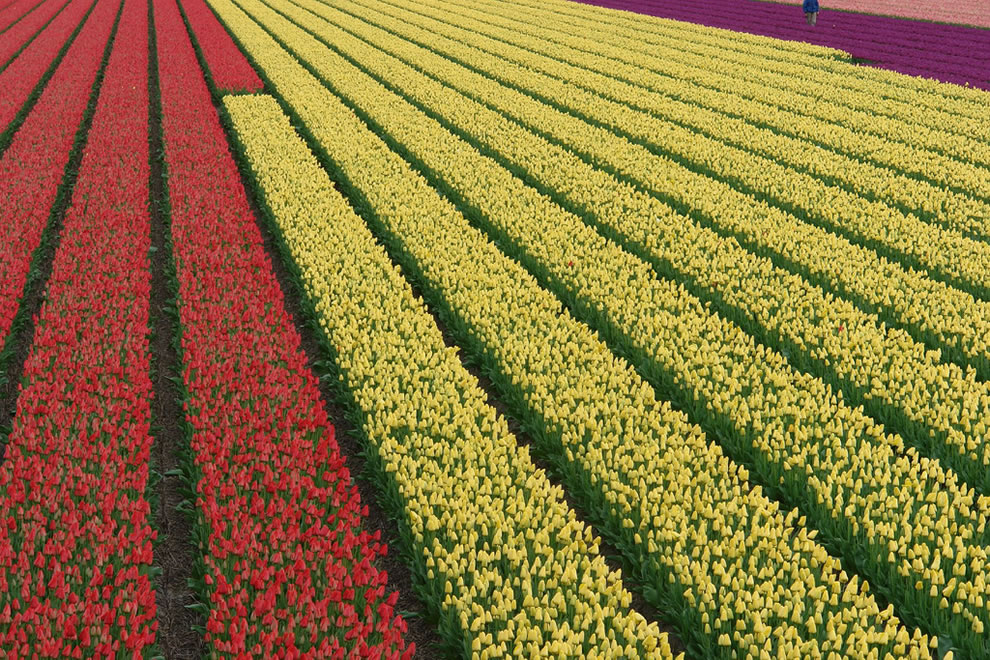 Red, cream and purple tulips, view from the Dutch dyke