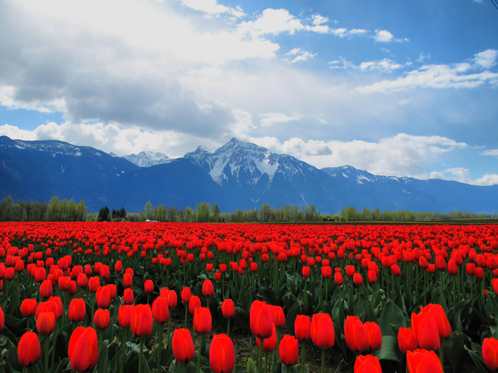 Sea of Red Tulips in the Fraser Valley