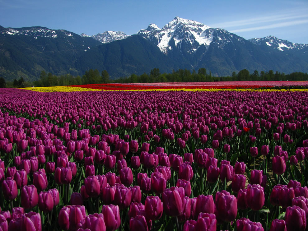 Seabird Island tulip fields and mountains in BC