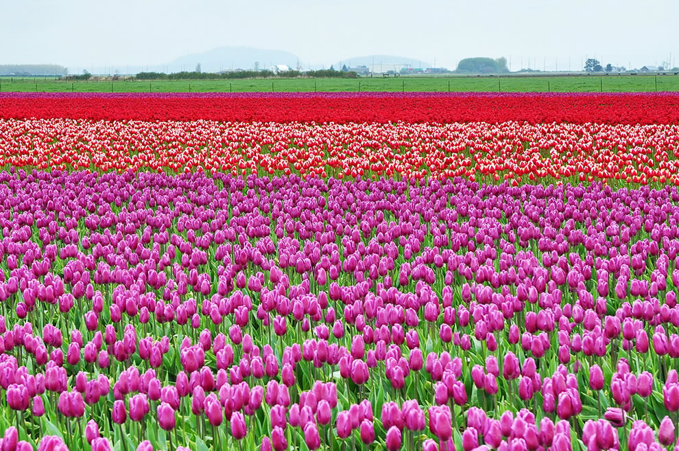 Skagit Valley, Washington, USA, tulip fields