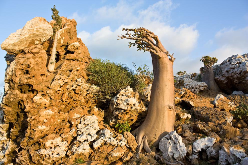 Socotra endemic tree species