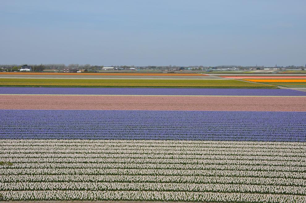 Tulip farmlands outside Lisse, next to Keukenhof, Holland