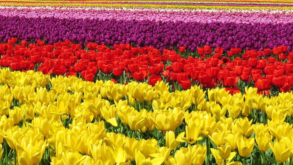 Tulip fields at Skagit Valley, near Mt. Vernon, Washington