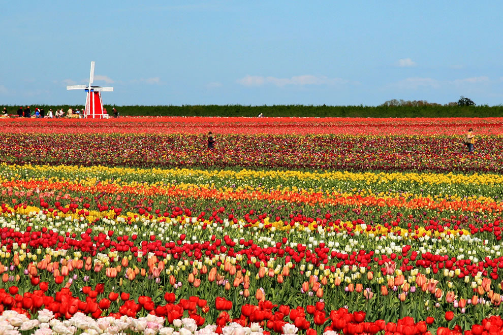 Tulips and Windmill at Wooden Shoe Tulip Farms and Festival, Oregon