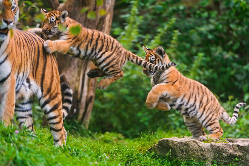 Twin tigers jumping on mom