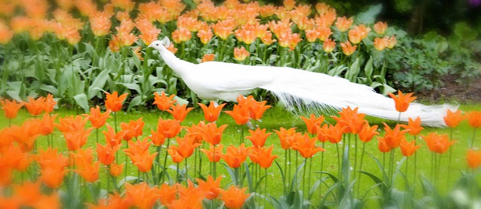 White peacock in the orange tulips at Keukenhof
