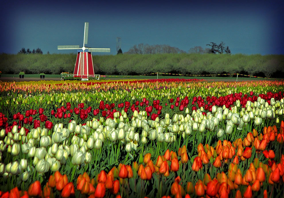 Woodenshoe Tulip Festival, tulip fields and windmills
