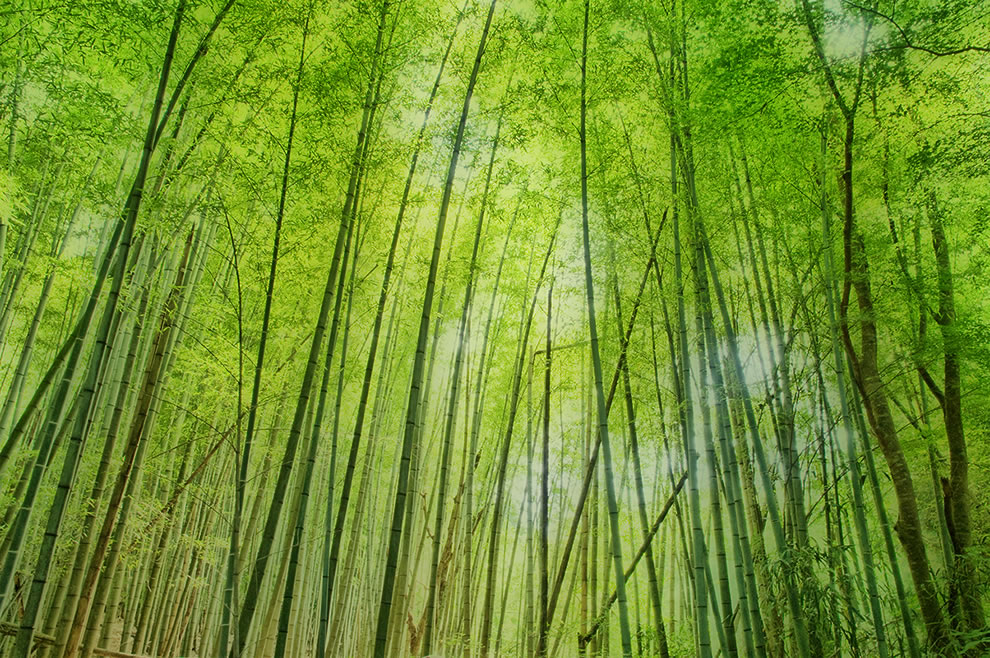 Bamboo woods in Japan