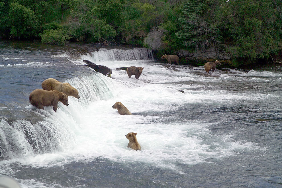 Brown bears gathering near Brooks Falls to feast on sockeye salmon, Katmai NP & Preserve