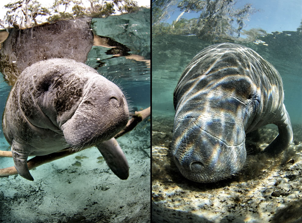 Closeup of endangered Florida manatees