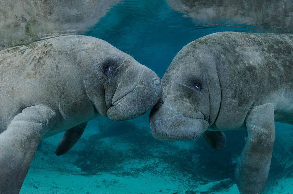 Kissing manatees in Georgia