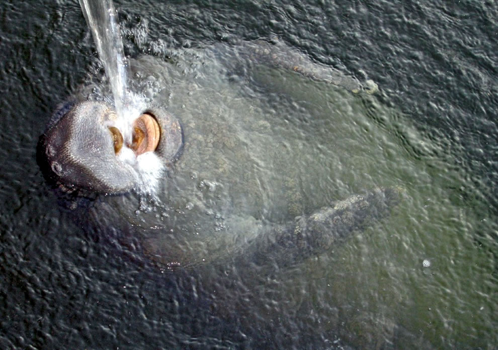 Manatee Drinking Water from a hose in Plantation Key, Florida