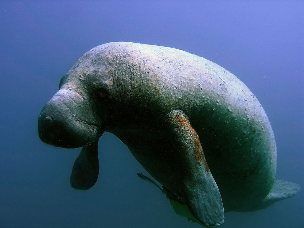 Manatee, a federally endangered species