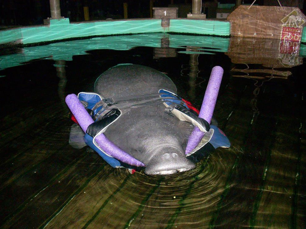 Manatee in Manatee Hospital after becoming sick by red tide in Florida