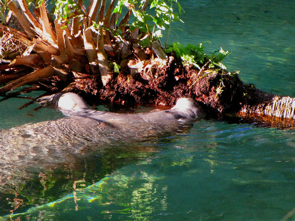 Manatee munching on Cabbage Palm at Blue Spring State Park