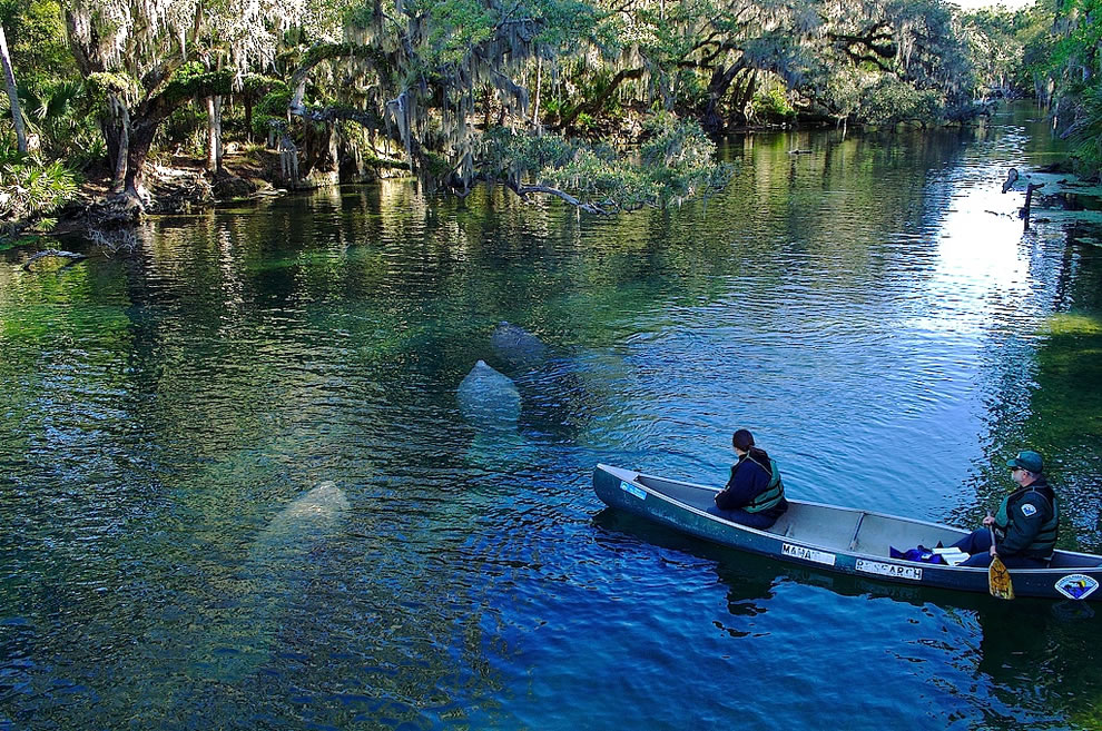 Manatees at Blue Spring State Park in Florida