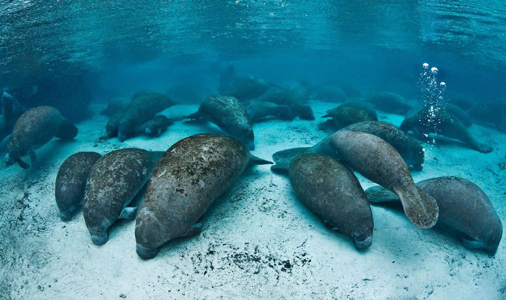 Manatees at Three Sisters Springs