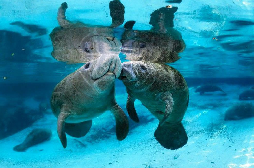 Manatees in love