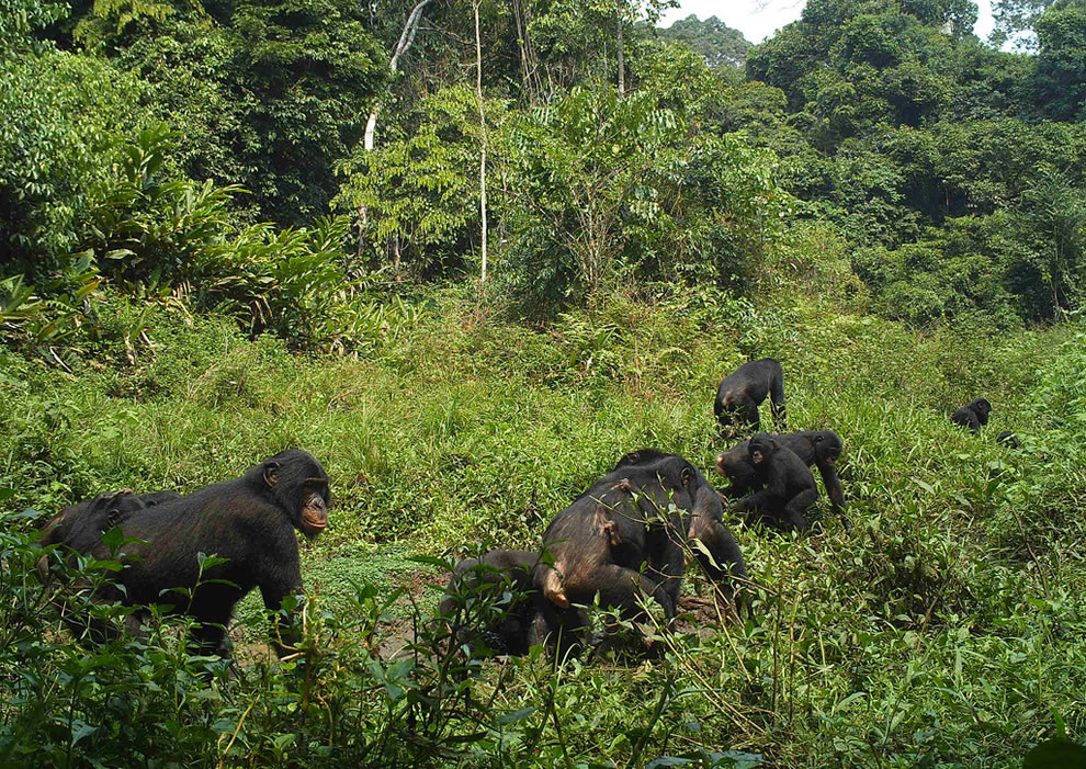 12 endangered bonobo monkeys in a clearing at Salonga National Park, Africa's largest tropical rain forest reserve