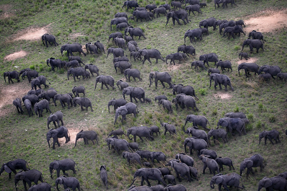 Aerial shot of elephant herds roaming through Garamba National Park