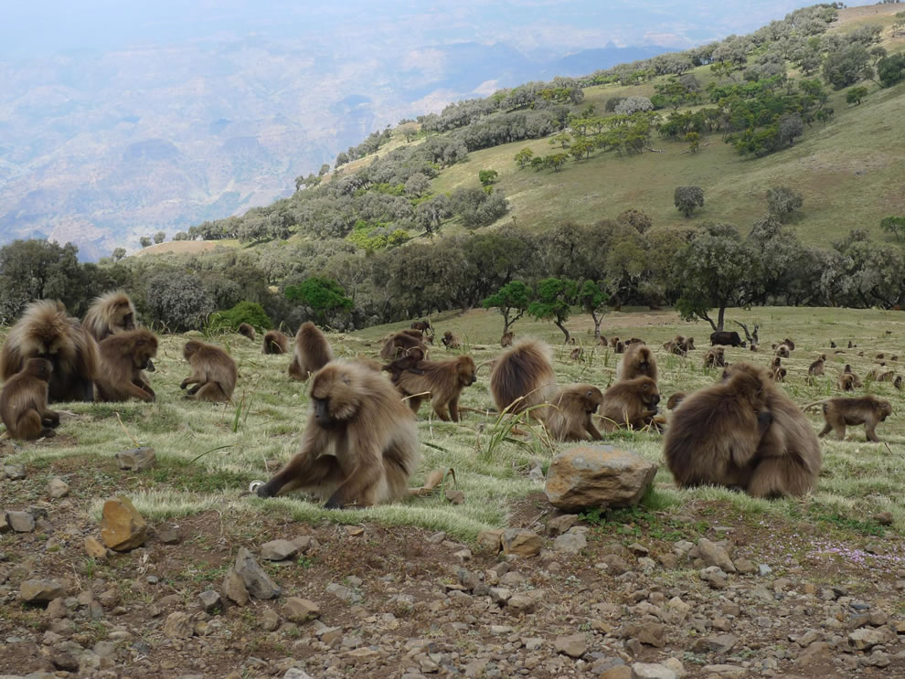 Gelada baboons grazing in the Simien Mountains at Simien Mountains National Park