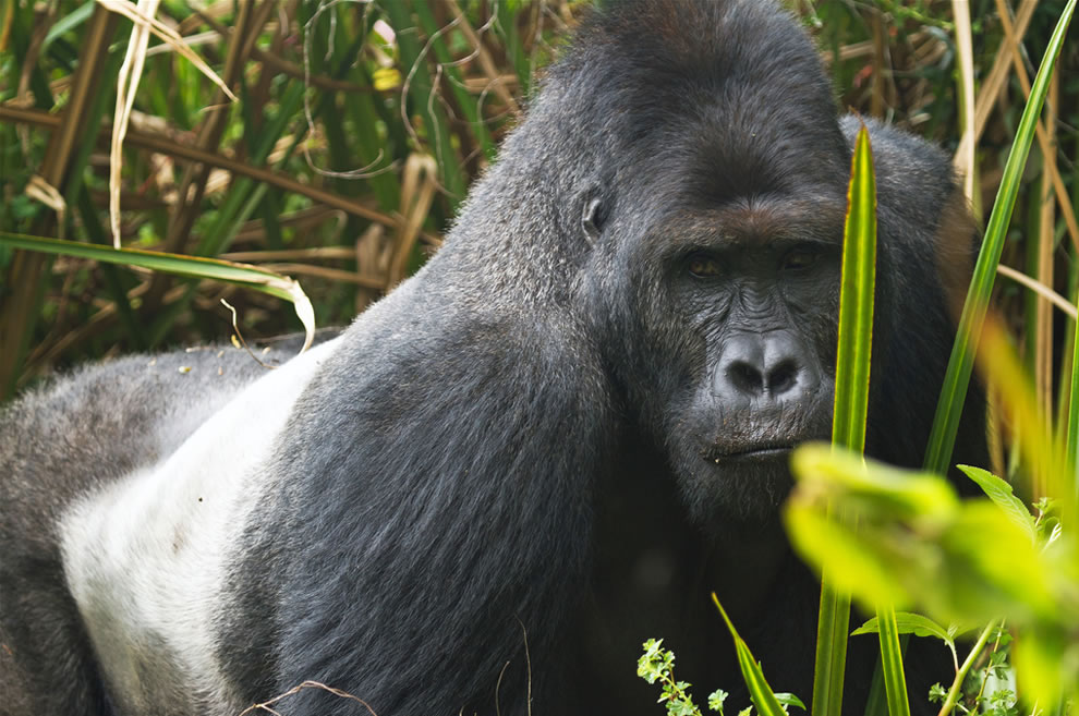 Gorilla at Kahuzi-Biega National Park UNESCO Natural World Heritage Site in Africa