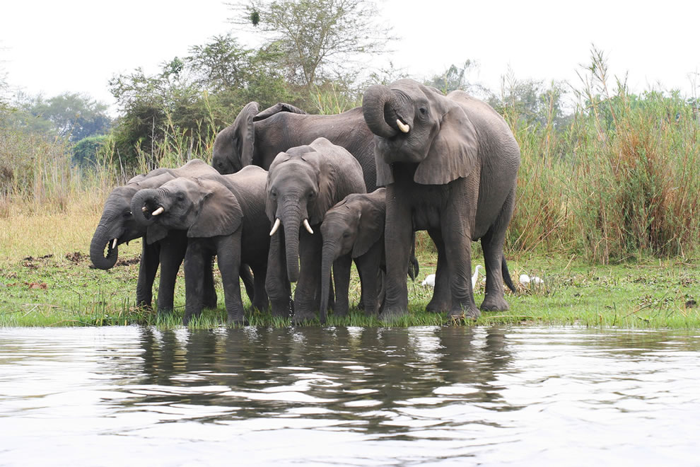 Group of young elephants drinking in Lake Malawi National Park