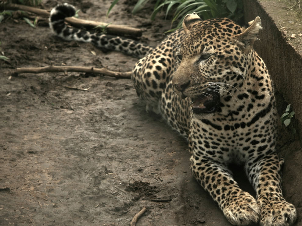 Huge hot cat, rare leopard at Niokolo-Koba National Park