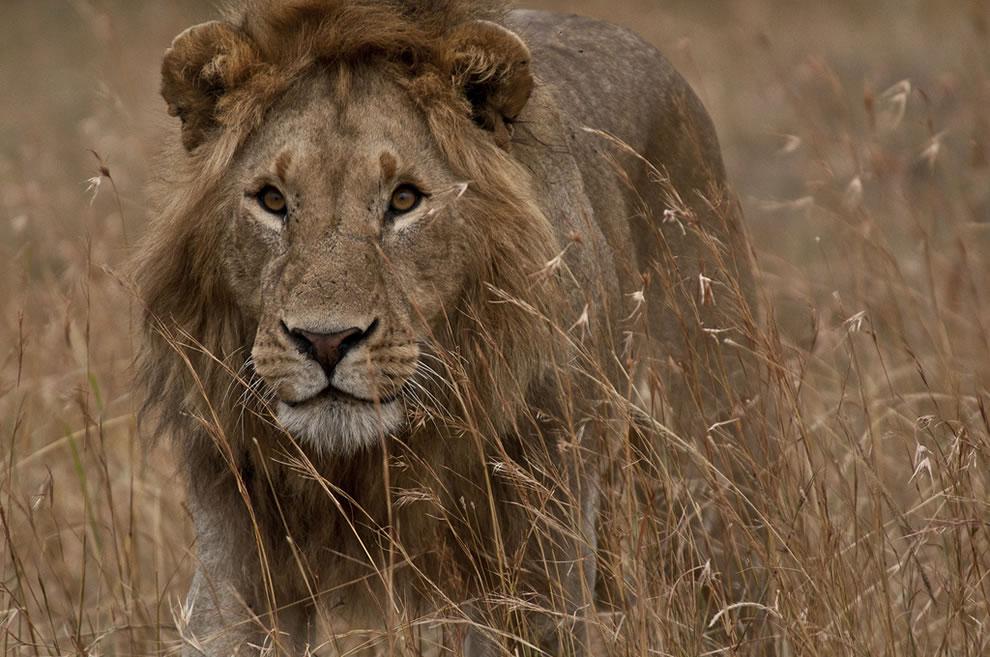 Lion at Serengeti National Park, Masai Mara, Tanzania