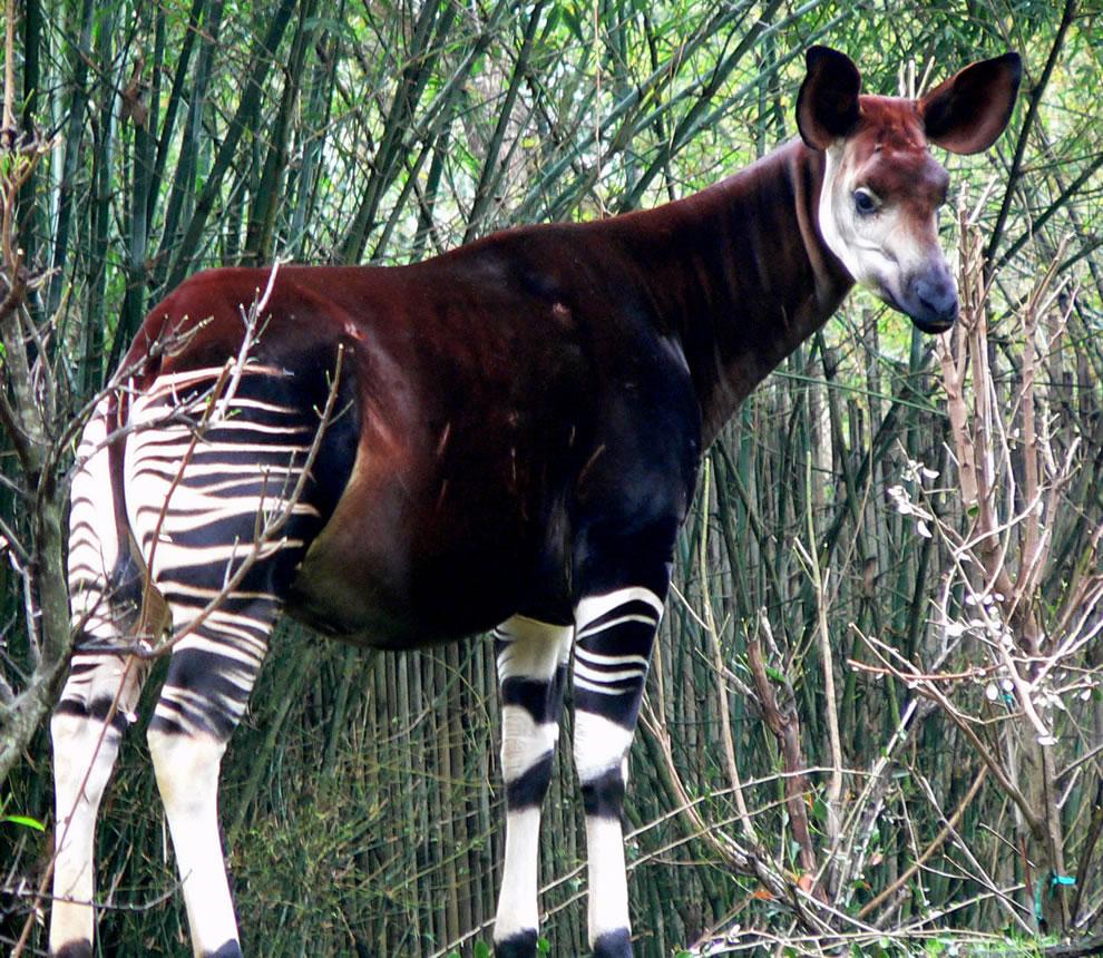 Okapi Wildlife Reserve, UNESCO World Heritage Site in Africa, Democratic Republic of the Congo