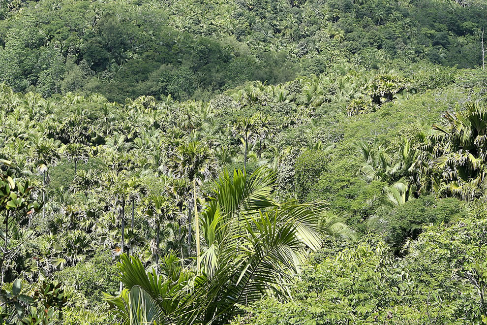 Well-preserved palm forest at May Valley Nature Reserve Seychelles, Africa