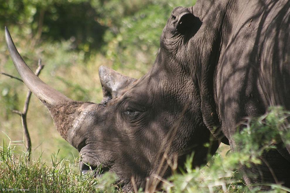 White rhino at iSimangaliso Wetland Park