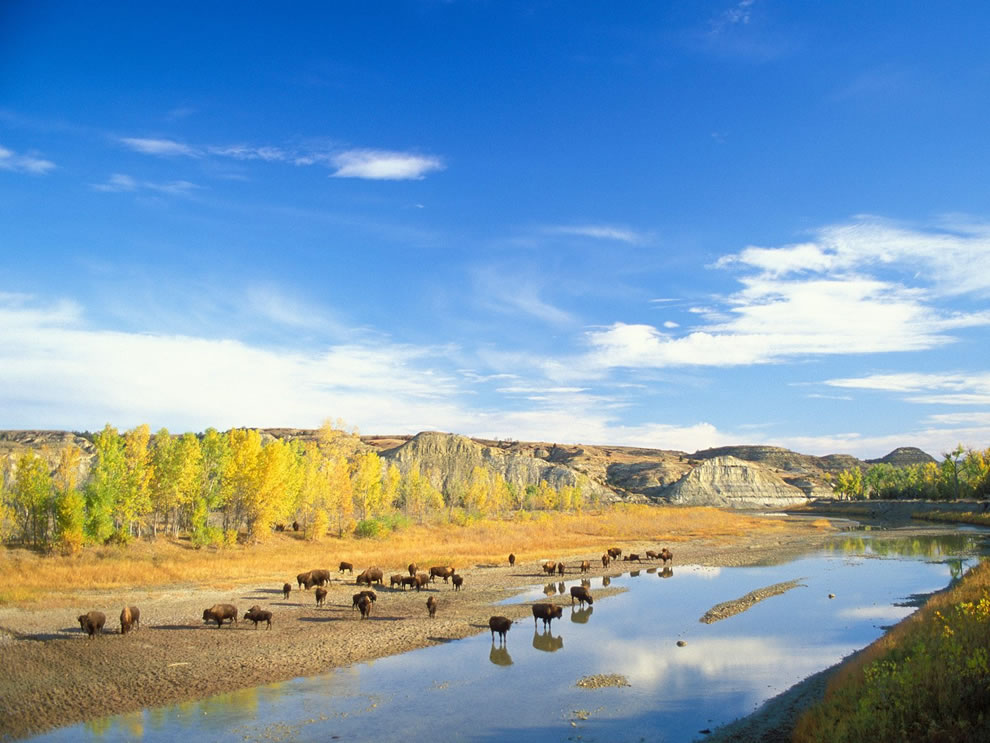 Autumn in North Dakota, Bison, Little Missouri River, at Theodore Roosevelt National Park