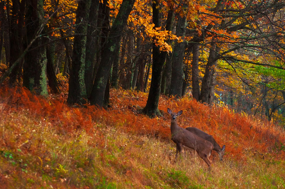 Autumn in Virginia, Two whitetail does grazing in a colorful autumn scene along Skyline Drive, Virginia
