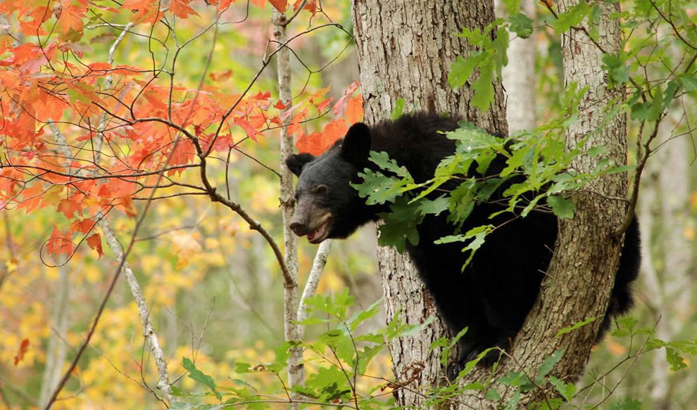 Black bear during autumn in a tree