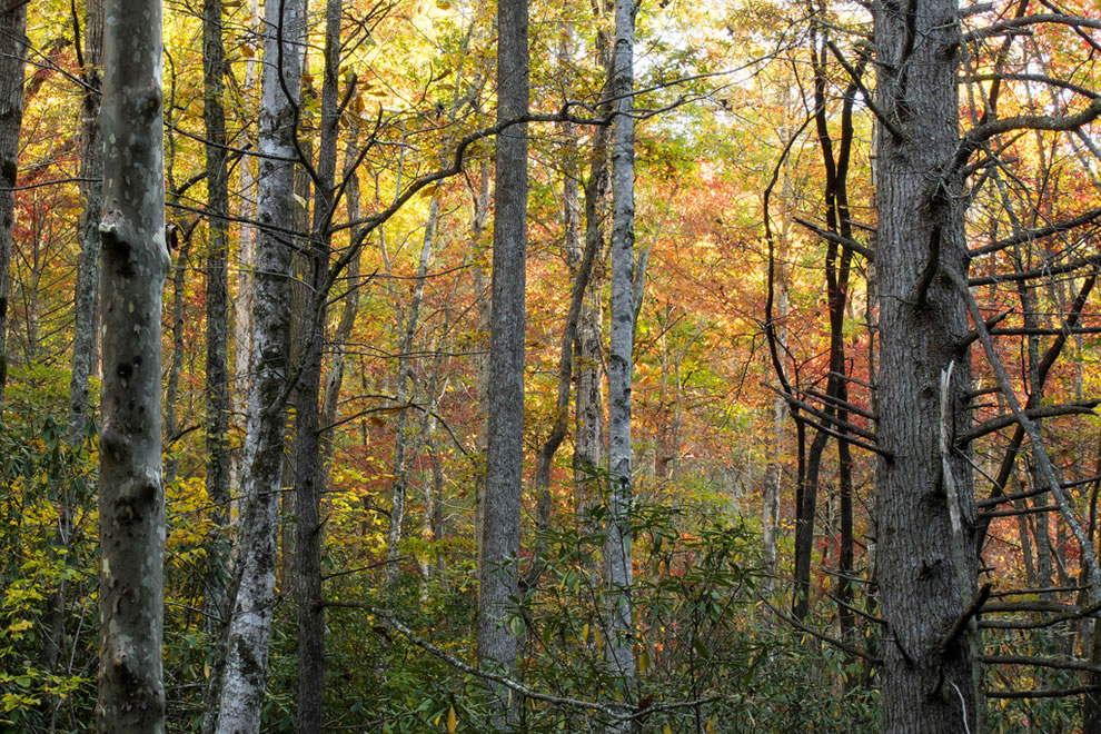 Changing colors along the middle Little River Valley in Elkmon, Great Smoky Mountains