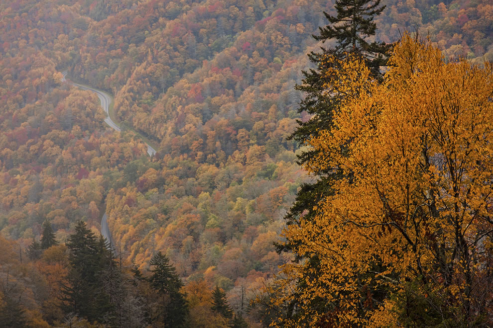 Yellow Tree and Curvy Road, Great Smoky Mountains National Park