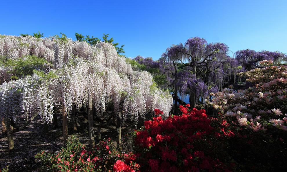 Ashikaga Flower Park Japanese wisteria