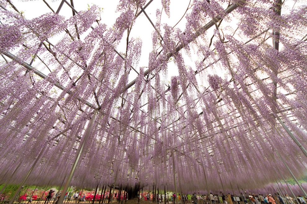 Ashikaga flower park wisteria, Japan