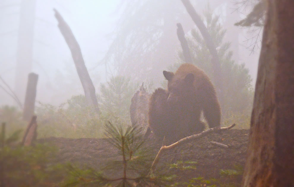 Bear in the foggy Sequoia Redwoods forest