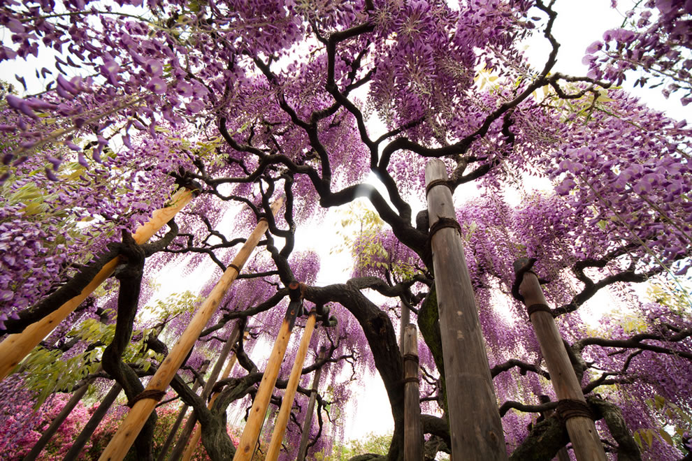 Breathtaking beauty at Ashikaga Flower Park