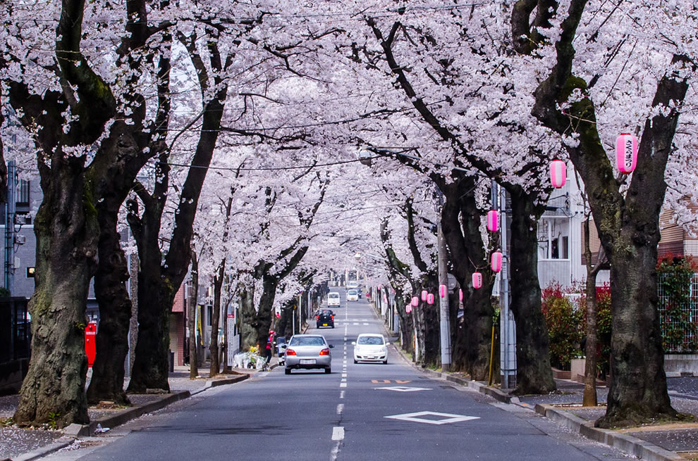Cherry Blossoms lining the street in Chiba Prefecture, Japan