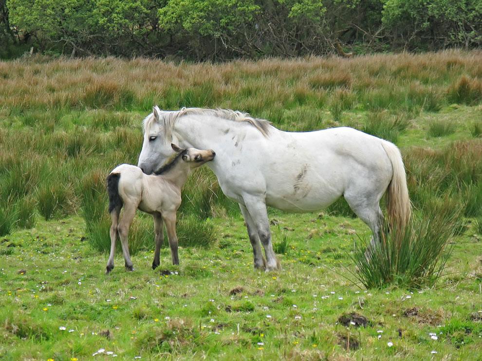 Connemara Ponies at Connemara National Park