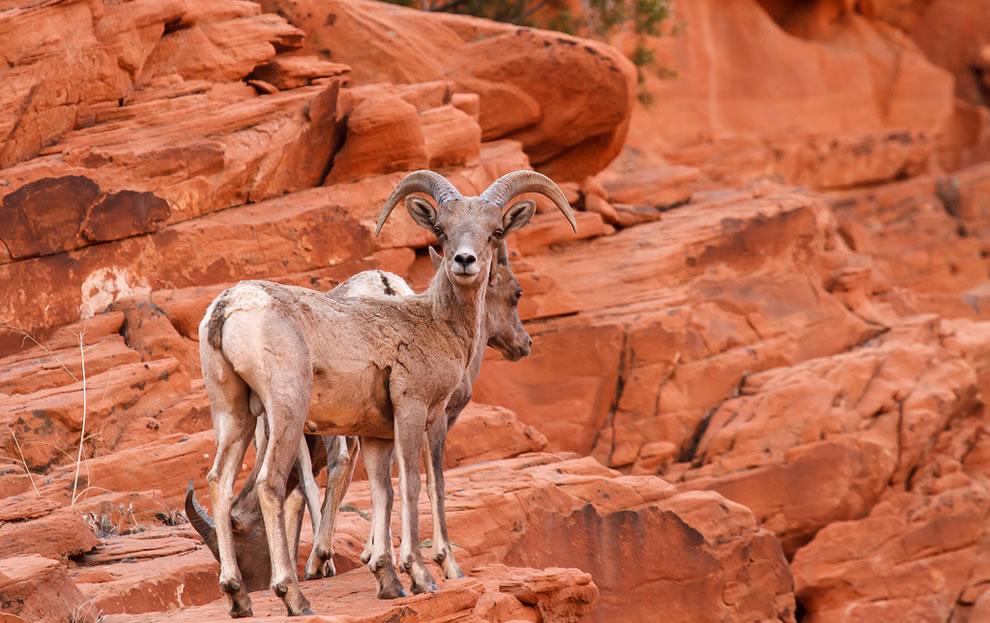 Desert Big Horn Sheep, Valley Of Fire State