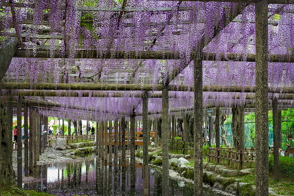 Hanging garden, purple wisteria in Japan