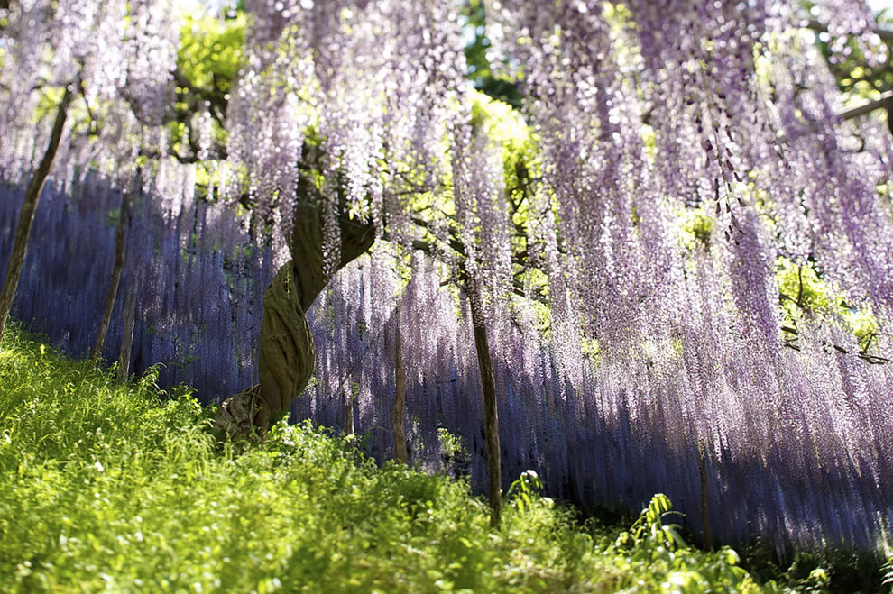 Japan in the spring, wisteria