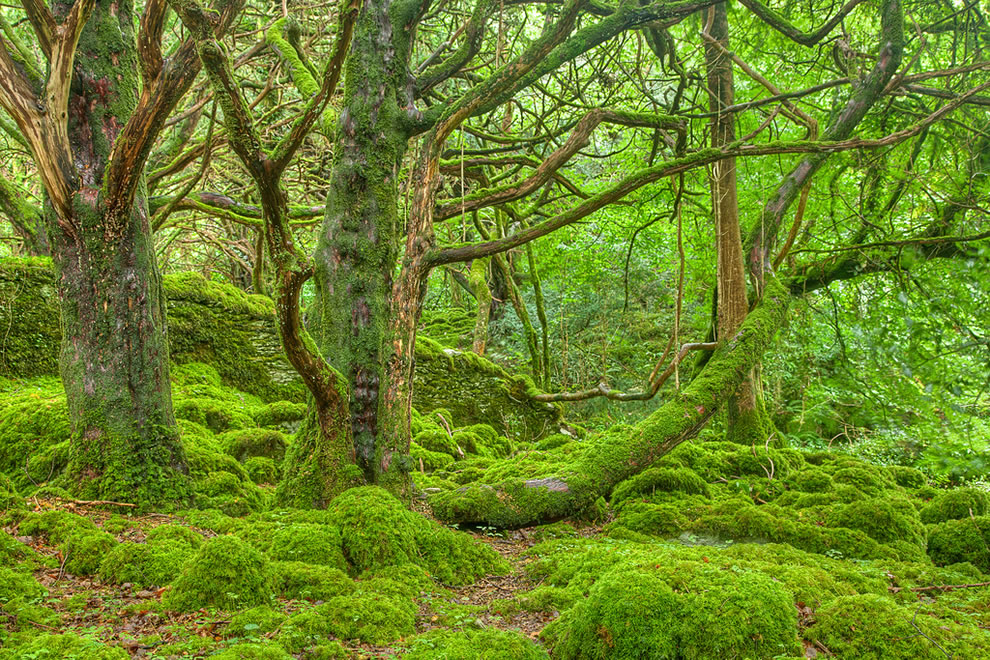 Lush forest scenery in Killarney Park, Ireland